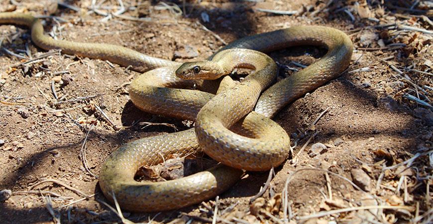 A Galapagos snake