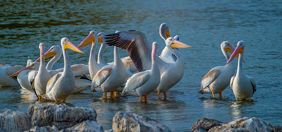 White pelicans gather in a wetland along the Pacific Flyway.